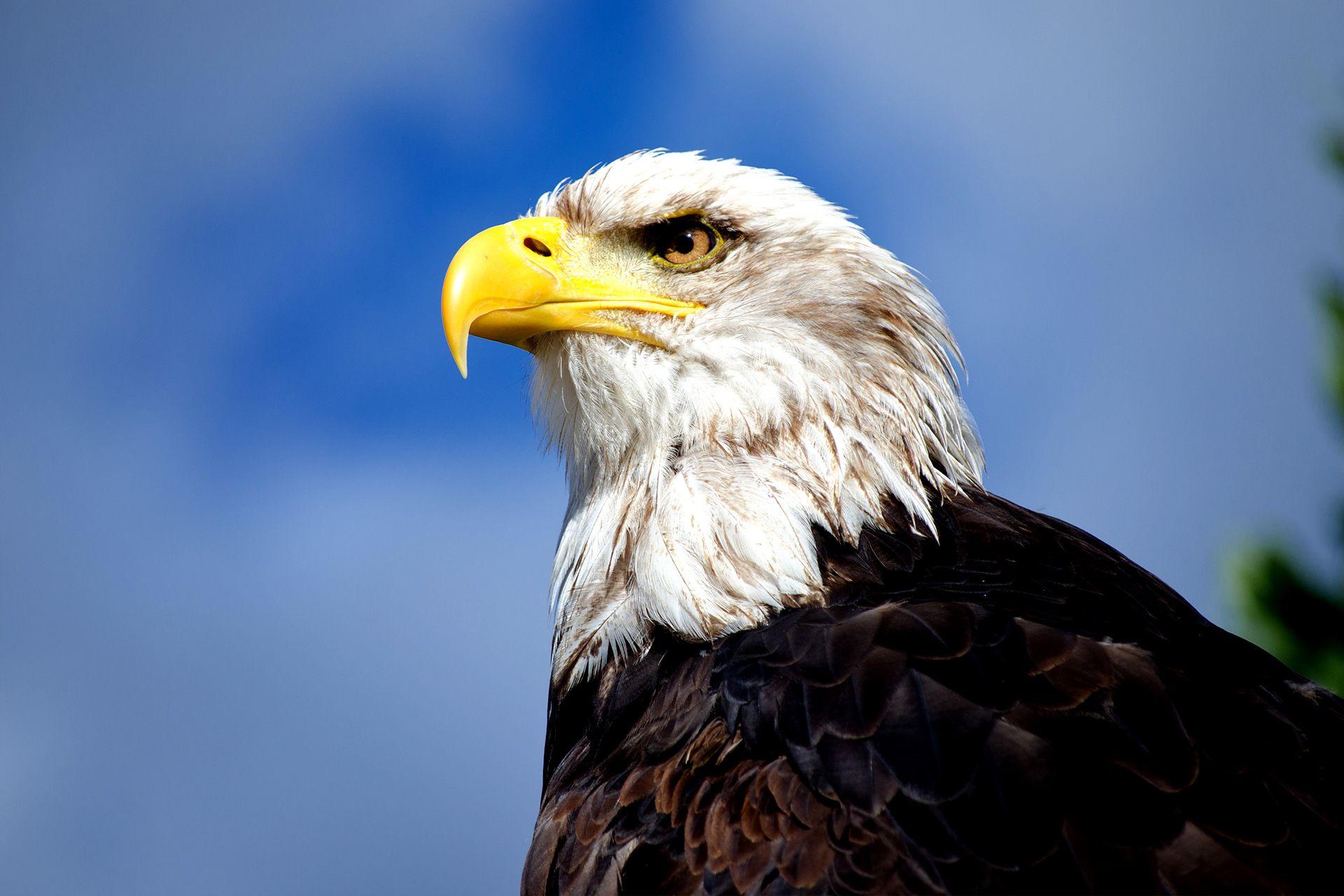 Adler Beizjagd ab 80€ schenken » Einzigartige Flugshow