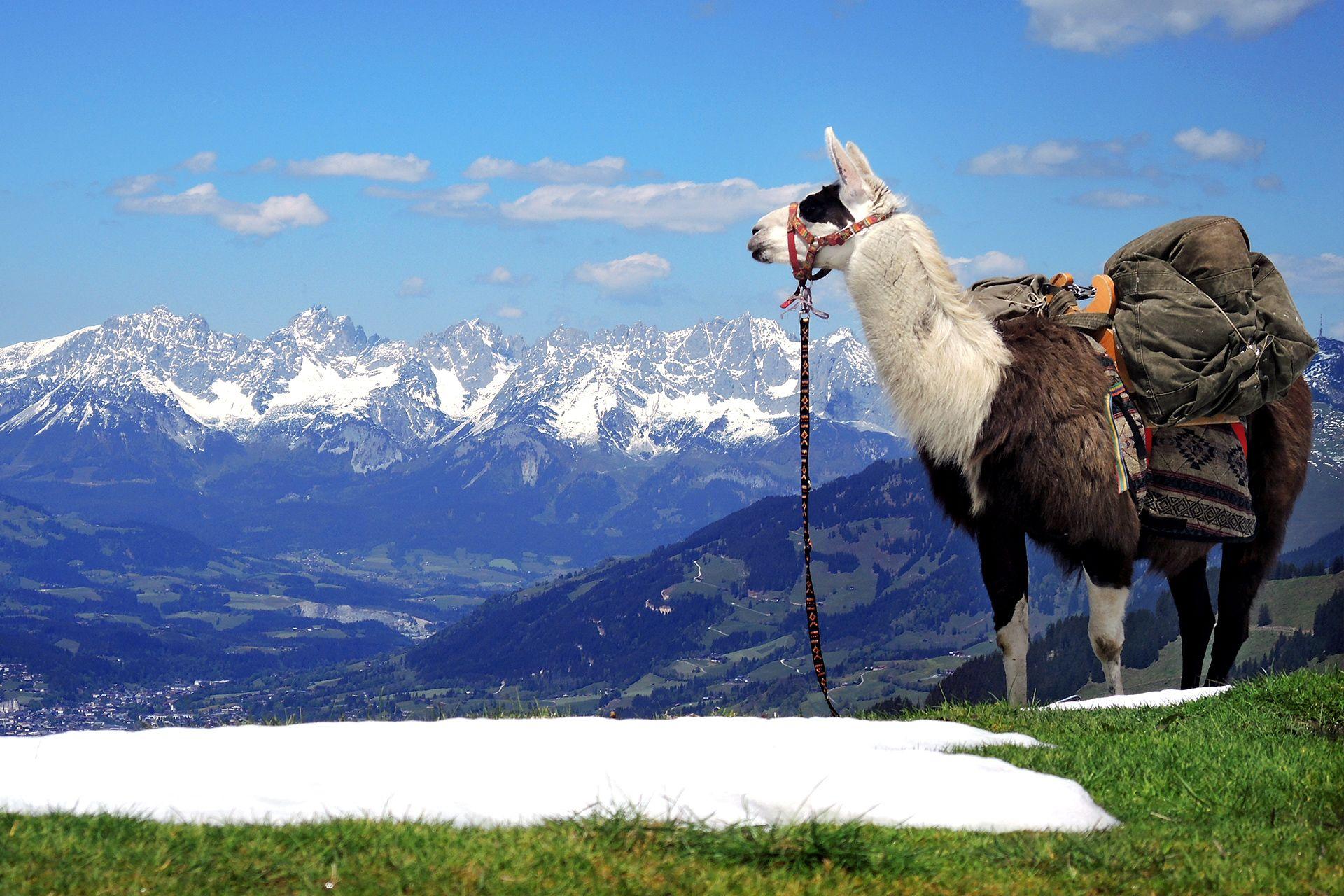 Lustige Lama Bilder
