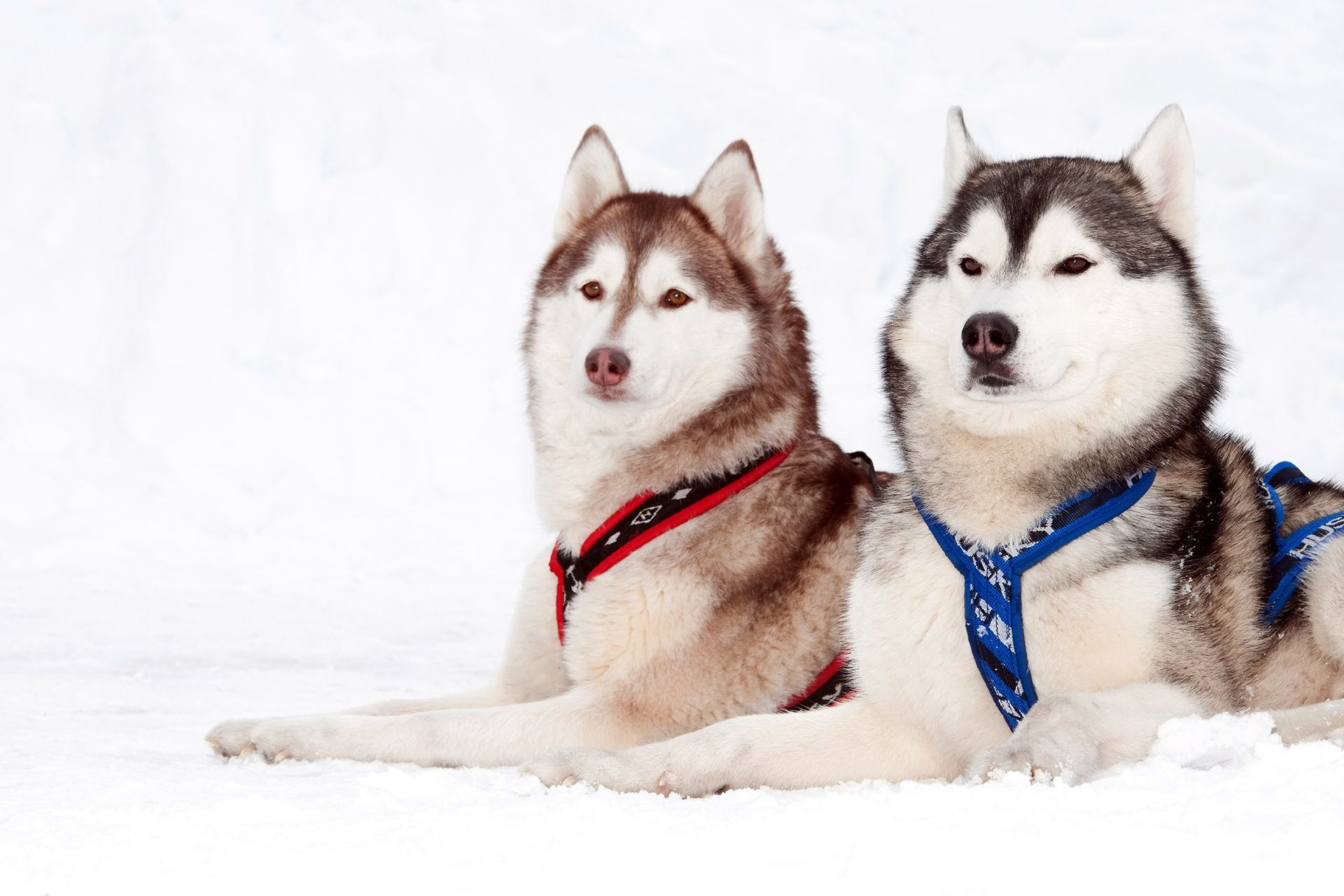 how to build a dog sled harness